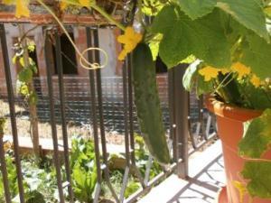 Castravete in ghiveci pe balcon